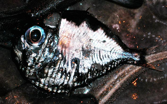 hatchetfish.jpg